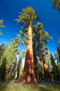 A giant sequoia tree, Mariposa Grove, Yosemite National Park