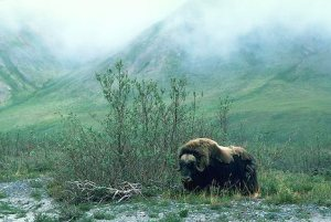 Musk Ox  feeding on Willow