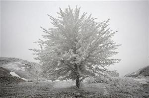 A tree covered with hoarfrost is seen at the Korday pass