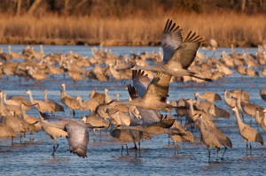 Sandhill cranes during their annual migration stop at The Nature Conservancy's Studnicka Tract on the Platte River in south central Nebraska during March of 2012.