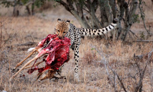 Cheetah and prey, Ngala, South Africa