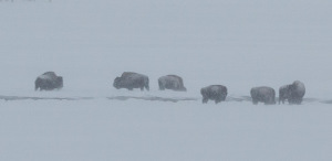 More buffalo enjoying the winter weather.  These are cows and calves.