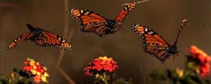 aSagasnbutterfly