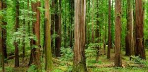 aPirsigforest