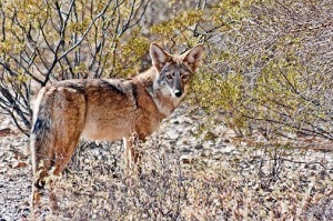 Desert Coyote 74457