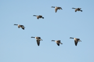Seven Canadian Geese flying in formation on clear blue sky