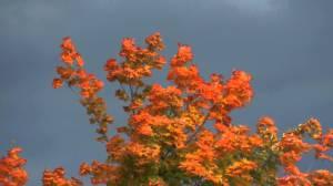 aWilliamsontrees