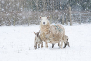 Welsh Ewe and lambs in snow storm